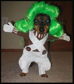 Oompa loompa dog. How funny!