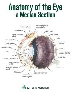 The initial examination of the eye should assess symmetry, conformation, and gross lesions; the eye should be viewed from 2–3 ft (~1 m) away, in good light, and with minimal restraint of the head. Learn more about the physical examination of the eye.