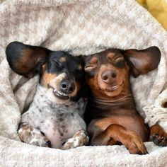 Smiling Sausages - Reese & Indiana Minature Dachshund Pals