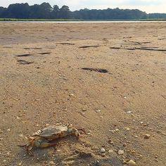 A #Chesapeake blue #crab on the #beach.  #familytravel #virginia #dmv #river #summer #travel #landscape #sun #nature #natural #instatbn #igersdmv