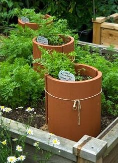 organic kitchen garden carrots with protective covers made from terracotta roof tiles in raised bed