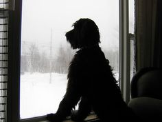 Tilley, black Giant Schnauzer, 3 years old