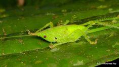 https://flic.kr/p/PiGehW | Conehead katydid, Copiphora gracilis | ID by Fernando Montealegre from Ecuador: www.flickr.com/andreaskay/albums