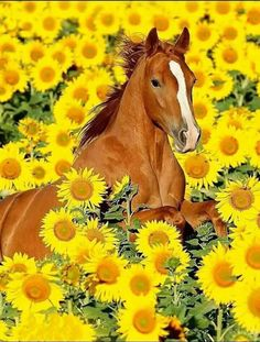 Horse in a field of yellow sunflowers. Happy horse!