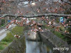 京都 哲学の道 桜 2014/03/29