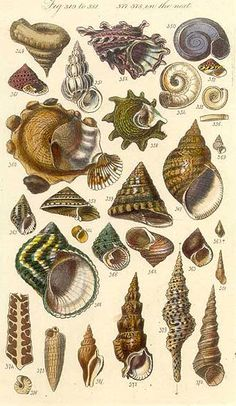 Tropical Turban Shells by Sowerby, 1842