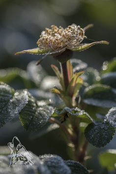 Rosa rugosa covered with a frost.