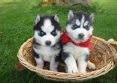 cute siberian husky puppies with blue eyes