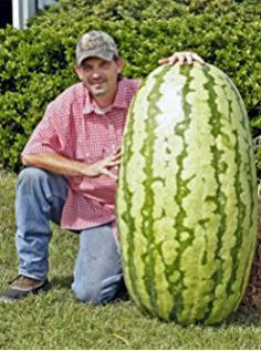 North Carolina Giant Watermelon -10 Seeds- HUGE 200 lbs