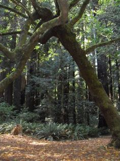 Cheatham Grove. Highway 36 in the California Redwoods