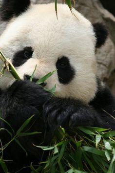 Oso panda | Panda bear
