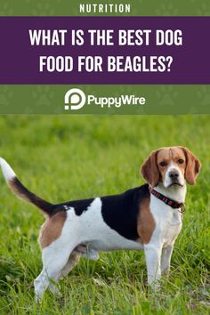 Wanting to find the best dog food for beagles? Our top 6 picks and buyer's guide will help you keep your Beagle happy and healthy. Best Dog Food, Dry Dog Food, Best Dogs, High Protein Dog Food, Wellness Core, Prebiotics And Probiotics, Premium Dog Food, Beagle Puppy, Small Breed