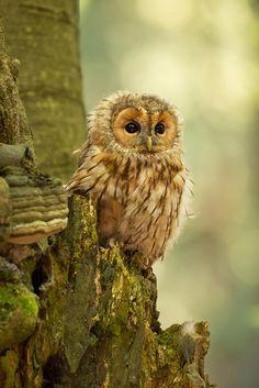 Tawny Owl by Milan Zygmunt