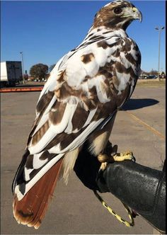 Red Tail Hawk (with leucism perhaps? Pretty Birds, Beautiful Birds, Animals Beautiful, Cute Animals, All Birds, Birds Of Prey, Love Birds, Red Tailed Hawk, Tier Fotos