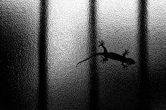 やもり (守宮) gecko