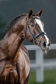 Belgian Warmblood stallion Vivaldi