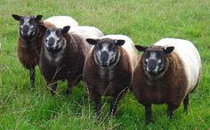 The Texel is a breed of domestic sheep originally from the island of Texel in the Netherlands. They have a distinctive short, wide face with a black nose and widely placed, short ears with a nearly horizontal carriage. They have black hooves.