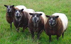 Mohair Goats Farm animals, Sheep, Animals