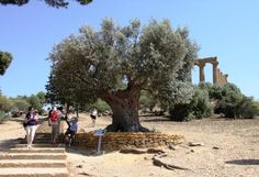 Olive Tree At the Temple  Sacred olive tree in front of the Temple of Juno, is standing there since 5000 years.