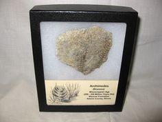 Archimedes Bryozoa #9