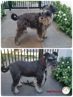 Beautiful girl Tilly, a Miniature Schnauzer. Full Groom Service. Ratty to Regal - Professional Dog Grooming Service in Bicton with Lots of Love, Care, Patience and Treats:) Mob.: 04 02 761153 Ula Facebook: https://www.facebook.com/rattytoregal/  Website: https://rattytoregal.wixsite.com/rattytoregal #doggrooming #doggroomer #petstylist #rattytoregal #petgroomer #dogsalon #schnauzer #miniatureschnauzer #dematting #breedcut #Bicton #Bictondoggroomer #fullgroom