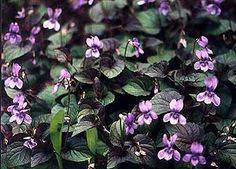 Viola labradorica purpurea - Labradore violets. Nearly evergreen groundcover, aggressive. Set loose near tough parking areas?