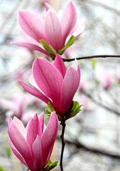 植物花卉 摄影 玉兰花 嘀咕图片