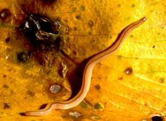 Fijian flatworm