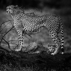 Let's come together to save the cheetah http://laurentbaheux.com/blog   c @laurentbaheux #nature #wildlife #photography