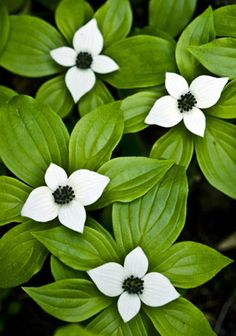Bunchberry. Perennial groundcover. Zones 1 - 6. Full sun to shade.