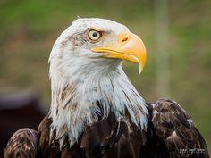 American Bald Eagle en el parque de la naturaleza de #Cabarceno #Cantabria #Spain