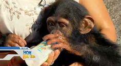 """""""O GRITO DO BICHO"""": Santuário dos Primatas abriga 55 chimpanzés - SP"""