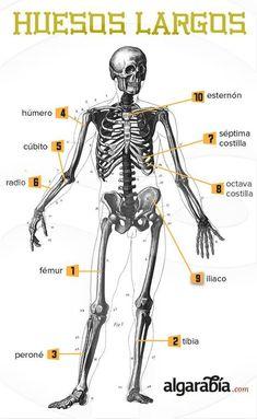 Los huesos más largos del cuerpo #infografia #infographic