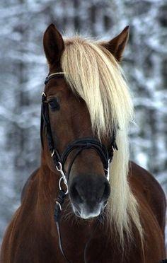Chocolate Palomino Horse-