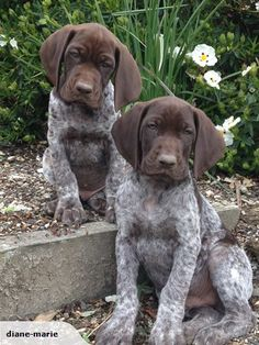 German Shorthaired Pointer Puppy @Bill Hughes Orr you need one of these!!