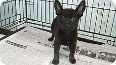 Feasterville, PA - Labrador Retriever/Terrier (Unknown Type, Medium) Mix. Meet Cinder, a puppy for adoption. http://www.adoptapet.com/pet/11448175-feasterville-pennsylvania-labrador-retriever-mix