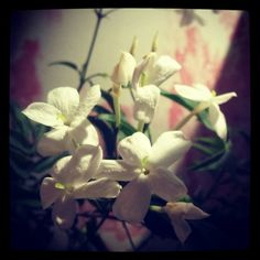I love the smell of jasmine flowers