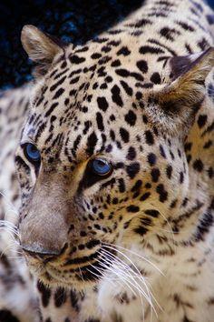 Leopard II by Jack Benson on 500px