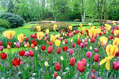 Keukenhof, the most beautiful spring flower garden in the world #keukenhof #flower #travel #netherlands #tulip