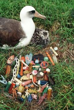 Hazardous finds: lighters, hair curlers, pegs, toys - This albatross mother has lined her nest with all kinds of plastic waste culled from the beach and sea. Many sea birds mistake plastic particles for food and feed them to their offspring.