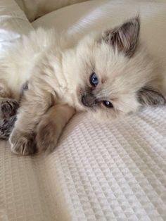 Ragdoll is a very intelligent blue eyed cat breed. They learn very quickly from the dogs and always copy the styles of a puppy. It looks very amazing when they act like a dog. And they grow very big in size relatively. A male ragdoll may weigh about 15lbs. #ragdollcatskitten