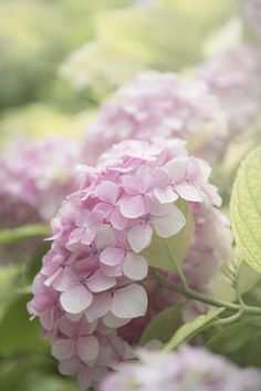 Light pink hydrangea in a soft focus with a light green background. Light pink hydrangea in a soft f Hortensia Hydrangea, Hydrangea Garden, Hydrangea Flower, Hydrangea Colors, Green Hydrangea, Fresh Flowers, Pink Flowers, Beautiful Flowers, Bloom