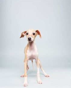 Taser is an Italian Greyhound (12 weeks) wants to drink from a fountain in Rome.