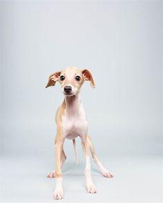 Italian Greyhound//