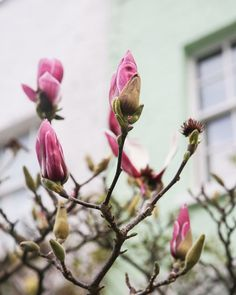 When London shows signs of Spring, the magnolia trees are some of the highlights.