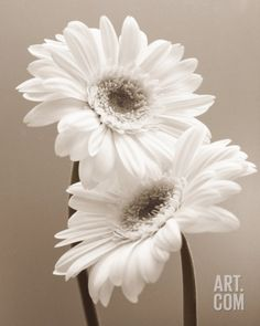 Two Daisies Print by Carol Sharp at Art.com for dining room