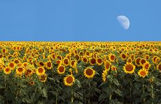 I want to see Sunflower fields and there are some in Dixon CA!  Road trip?