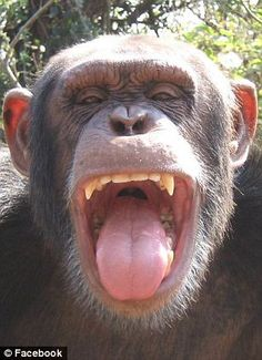 Image result for chimp head