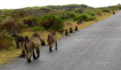 Only one mature male to approx 10 adult females - it BAD news. need sub-adult male to the group, lot of the juvenile and female. Baboon, Bad News, Country Roads, Group, Female