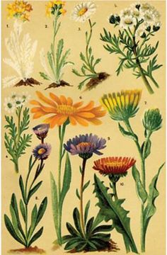 Alpine Flowers - Antique print 1900